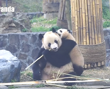 Annoying Baby Panda