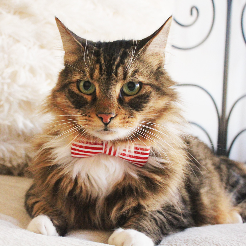 red-stripe-bowtie-cat