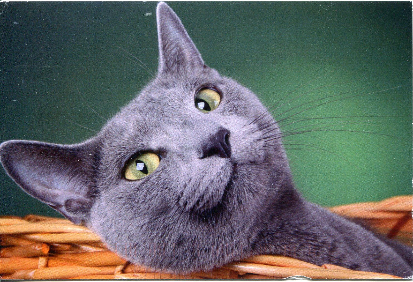 russia-grey-cat