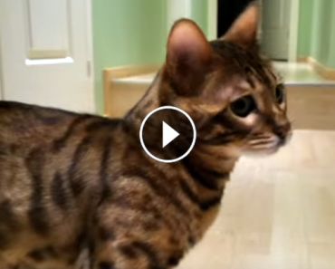 mystic the Bengal cat