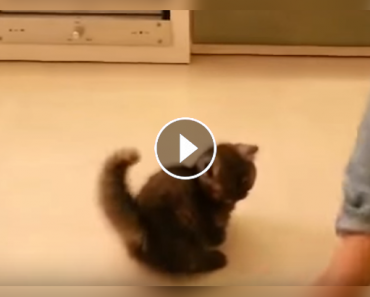 Fluffy Kitten Dancing