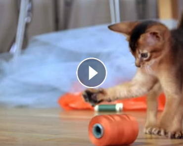 Adorable Abyssinian Kittens
