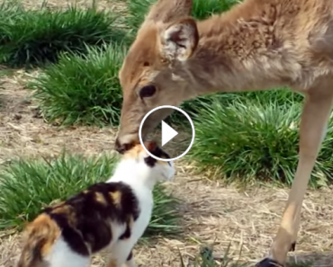 cat enjoying deer kisses