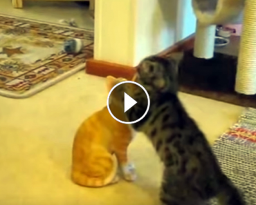 Kittens Play Fight