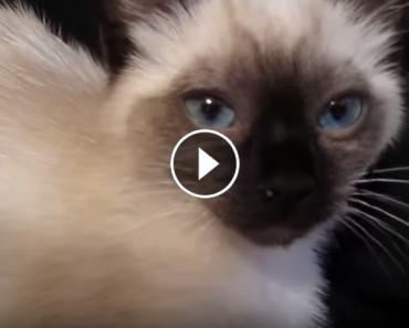 kitten purrs