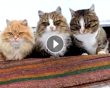 Siberian farm cats