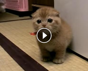 Precious Scottish Fold Kitten